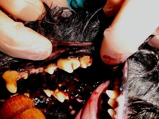 Hundegebiss   v o r   der Zahnsanierung