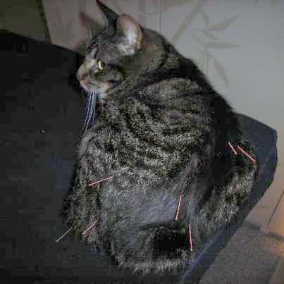 Katze während der Akupunktur